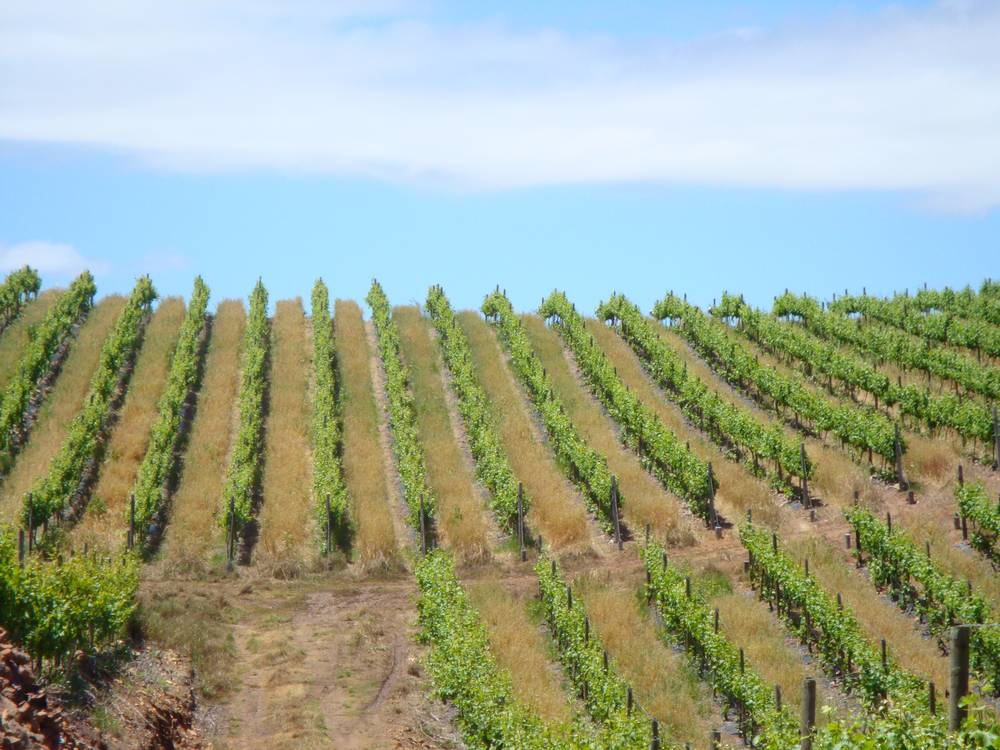 Vineyards at Paul Wallace Wines