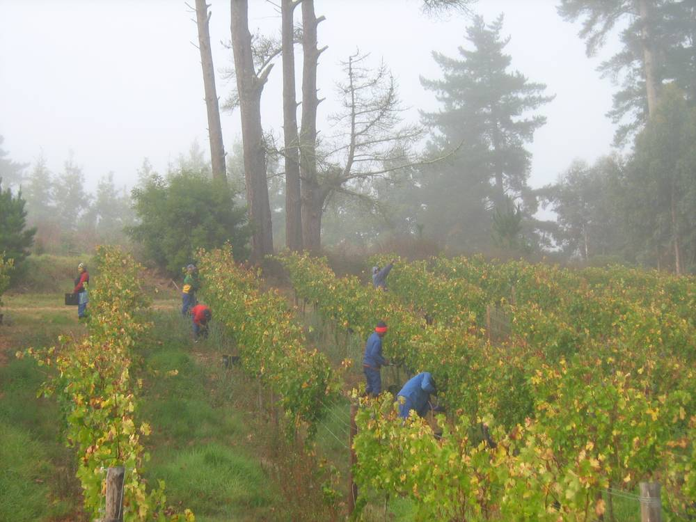 Arumdale vineyards shrouded in cool mist