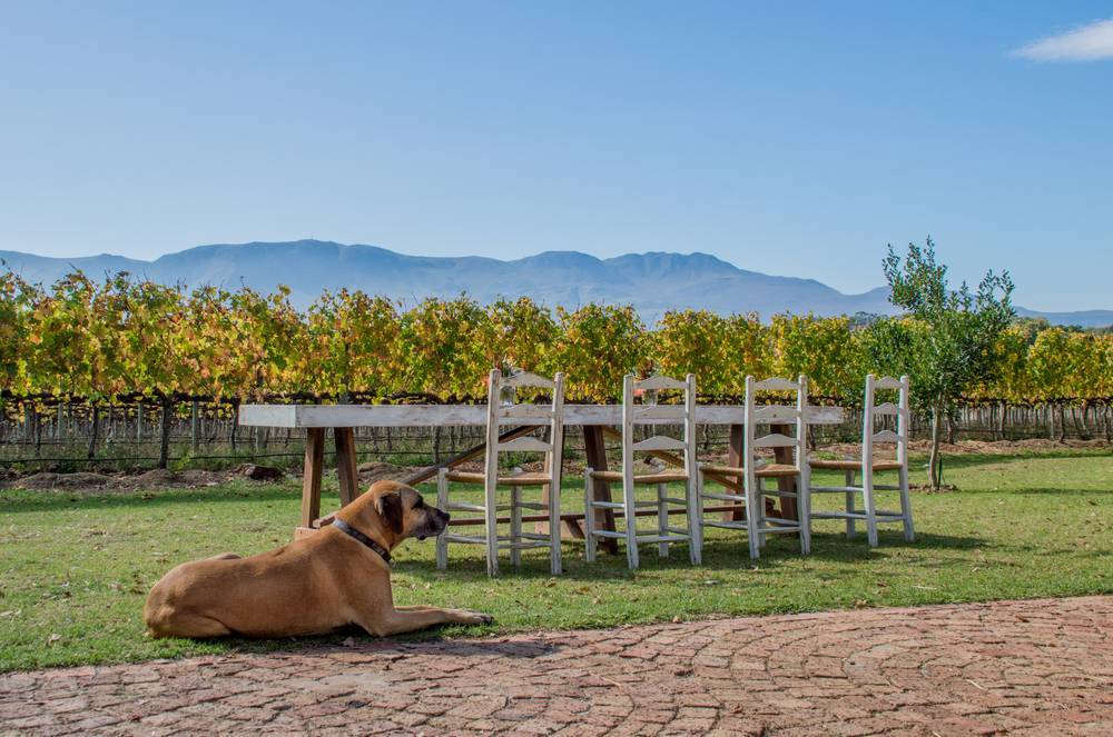 Belfield dog and valley vineyard view