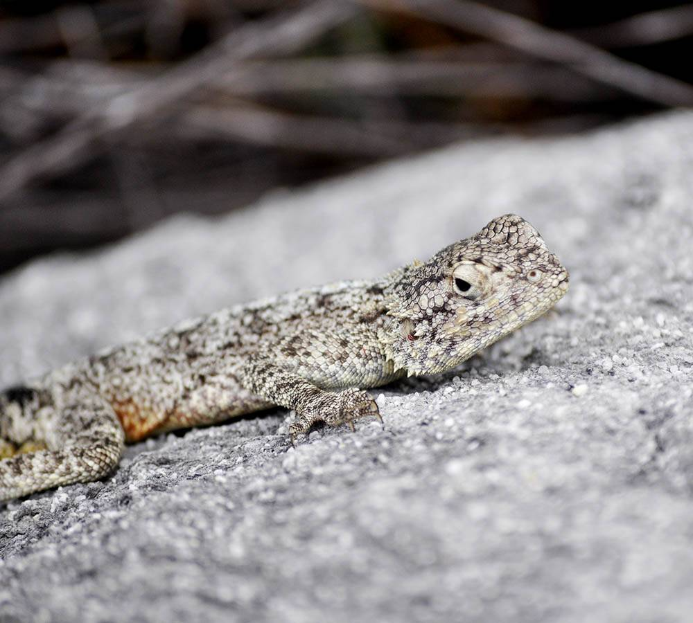 The southern rock agama