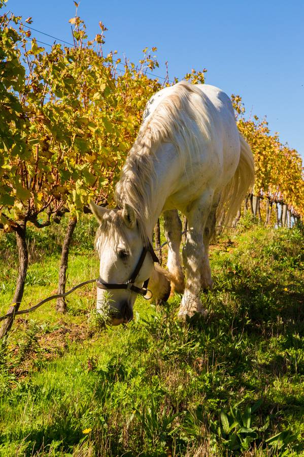 Percheron, Maddox, working the vineyards