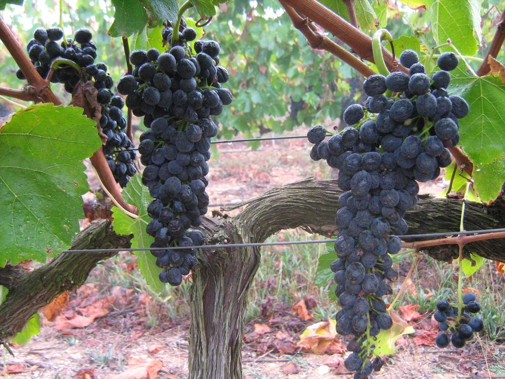 Arumdale grapes