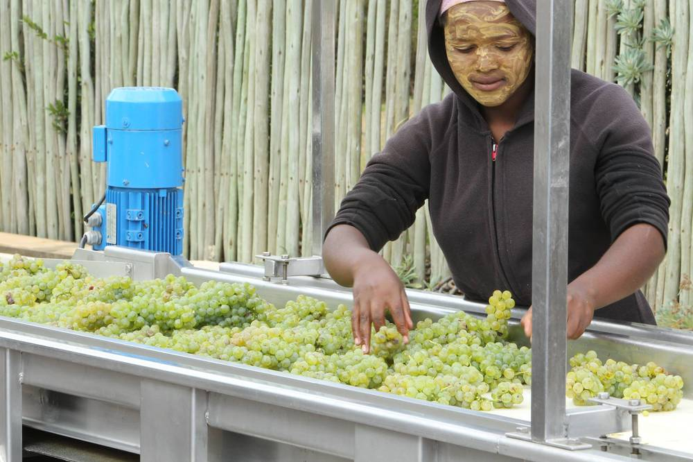 Sorting grapes after harvesting