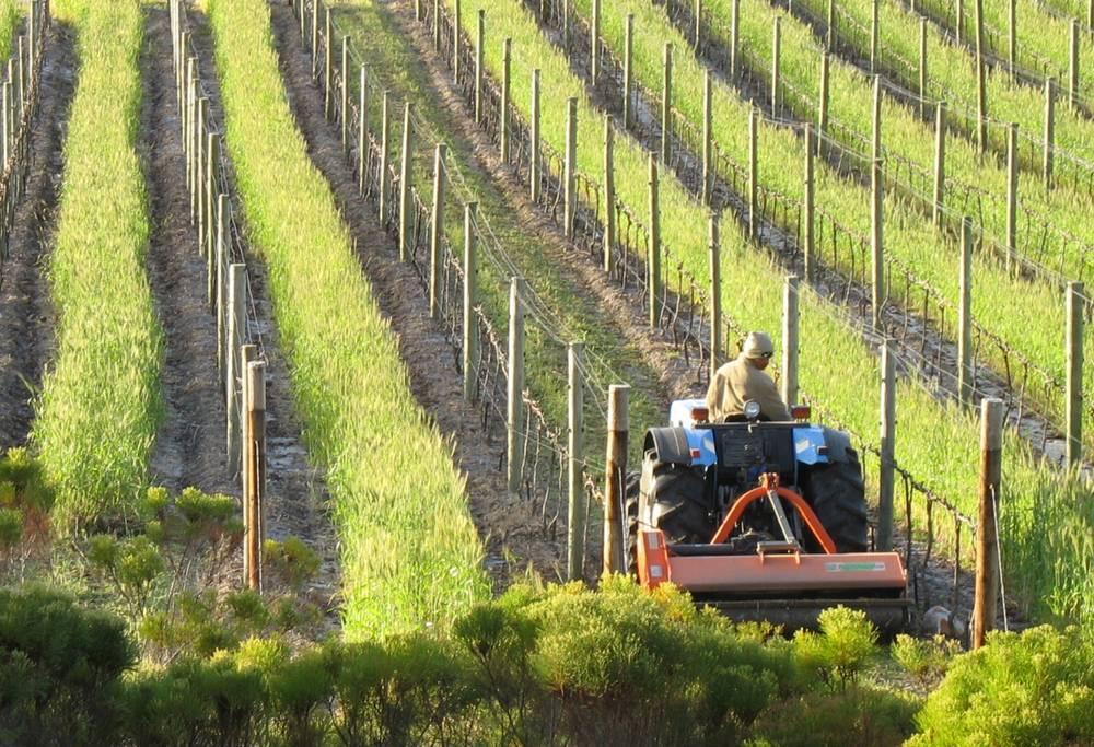 Vines at Shannon Vineyards