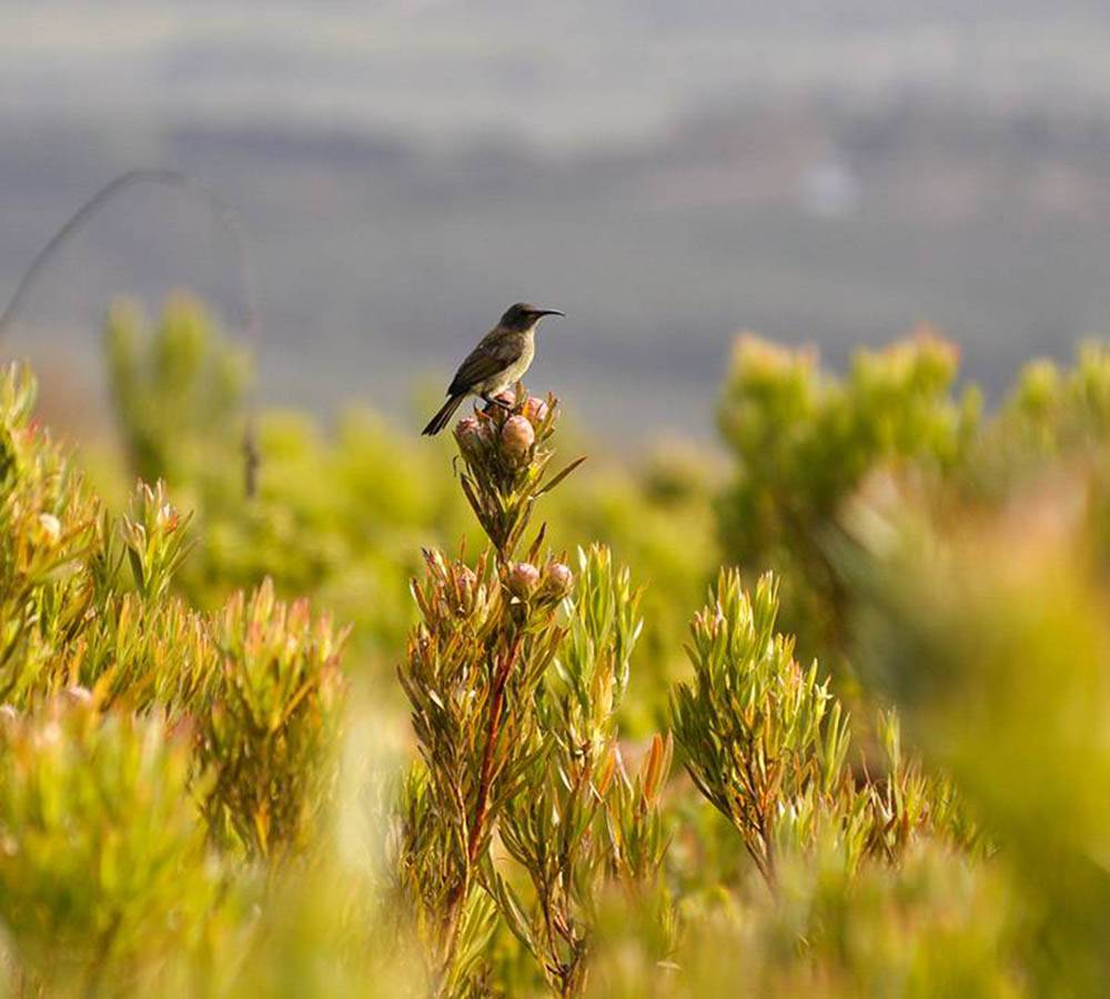 Sugar bird on fynbos in the Green Mountain Trail area