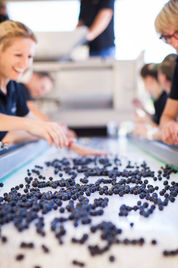 Grape sorting time at Almenkerk