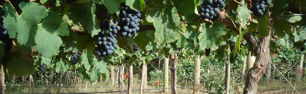 Grapes on vines at Highlands Road