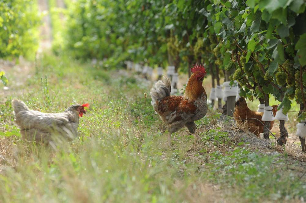 Chickens helping with pest control