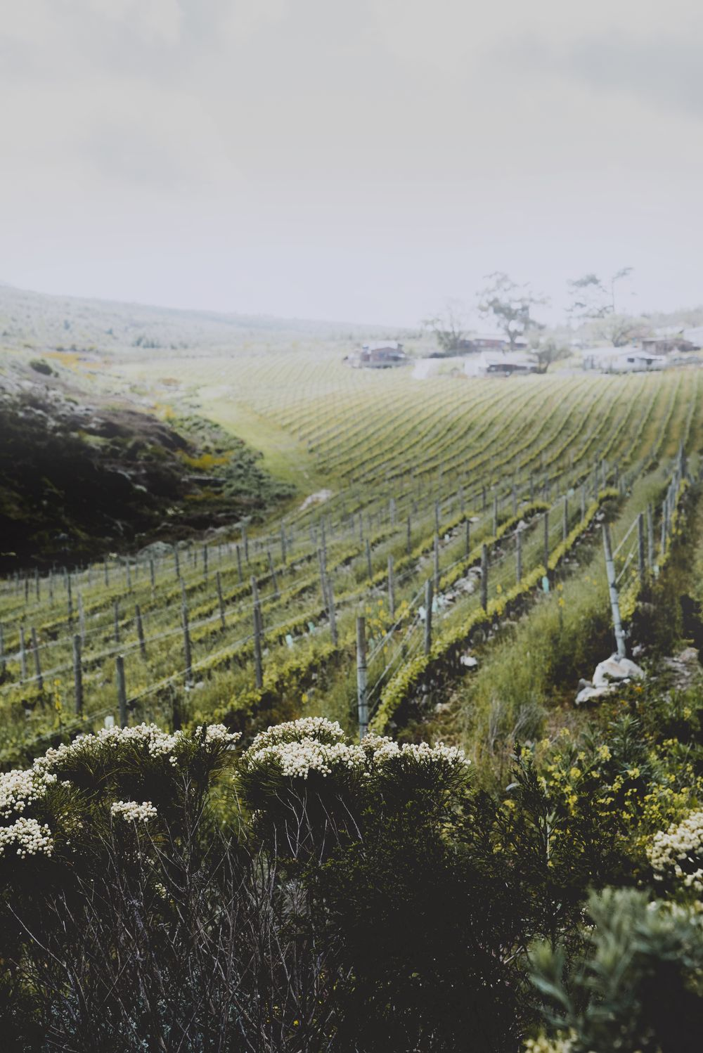 Sloping vineyards on the side of the kloof