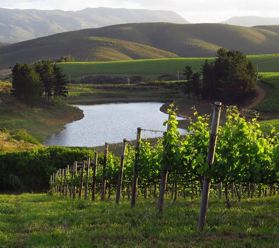 Vineyards near Sutherland Cottage