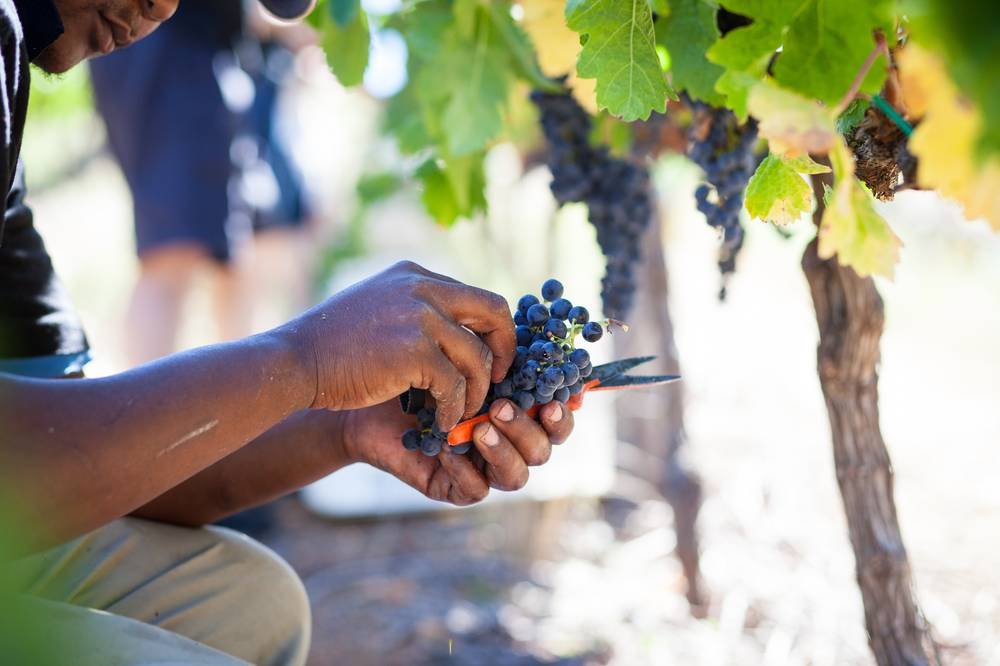 Almenkerk pick grapes by hand