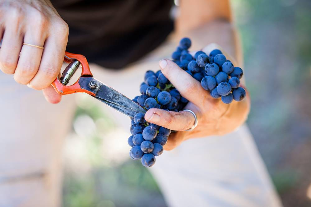 Grapes at Almenkerk are hand-picked