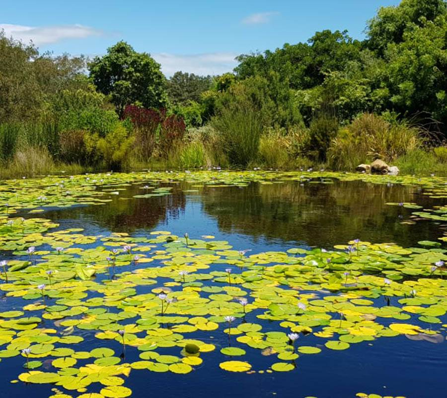 Pond with beautiful pond lilies