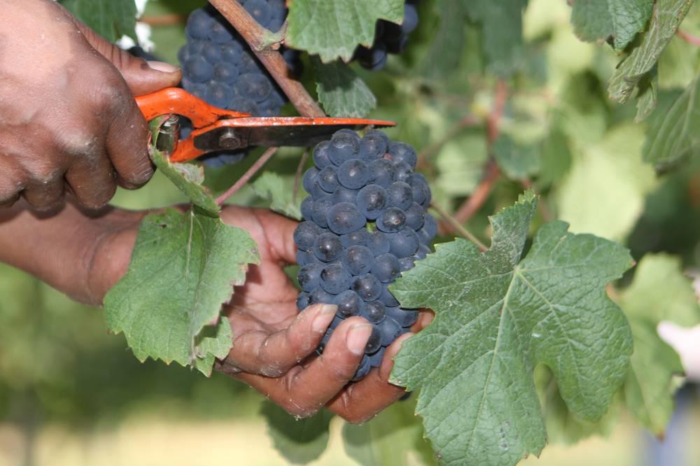 Wallovale winery harvest January 2014