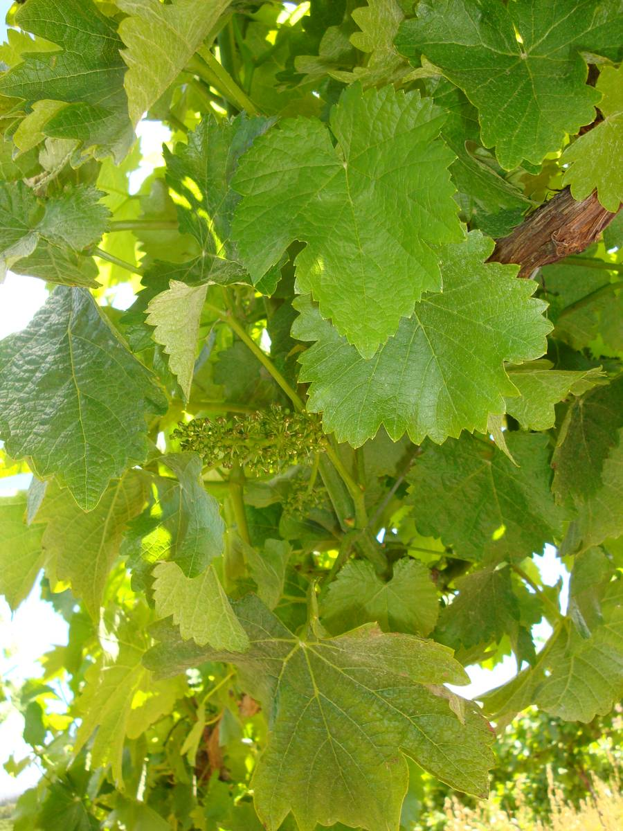 New fruit on the vines