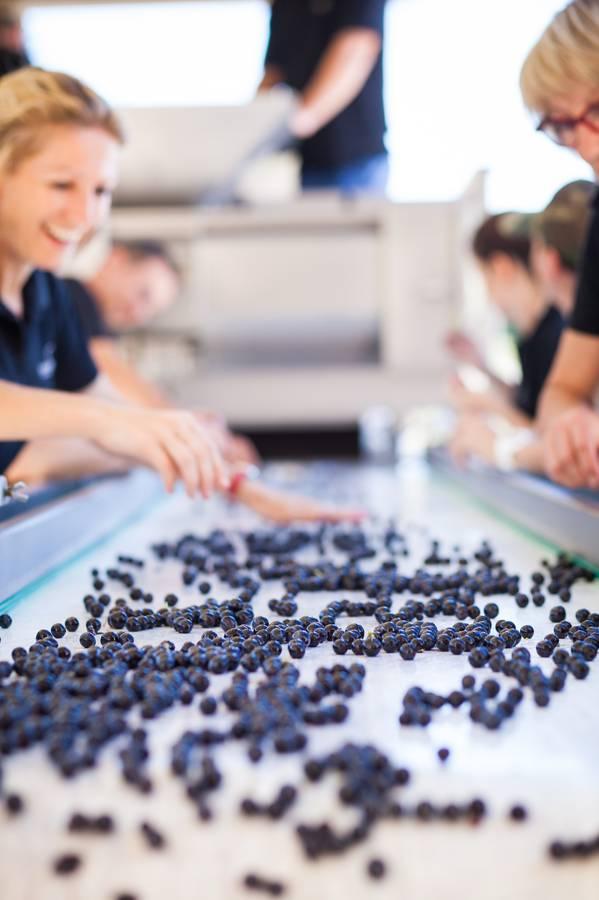 Grape sorting time at Almenkerk