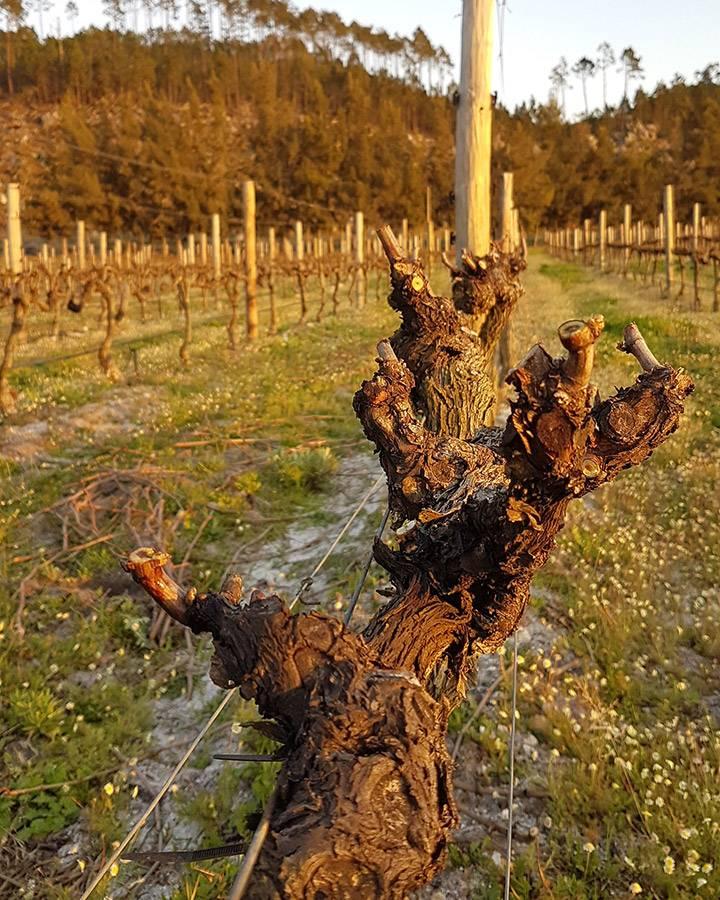 Pruned vine