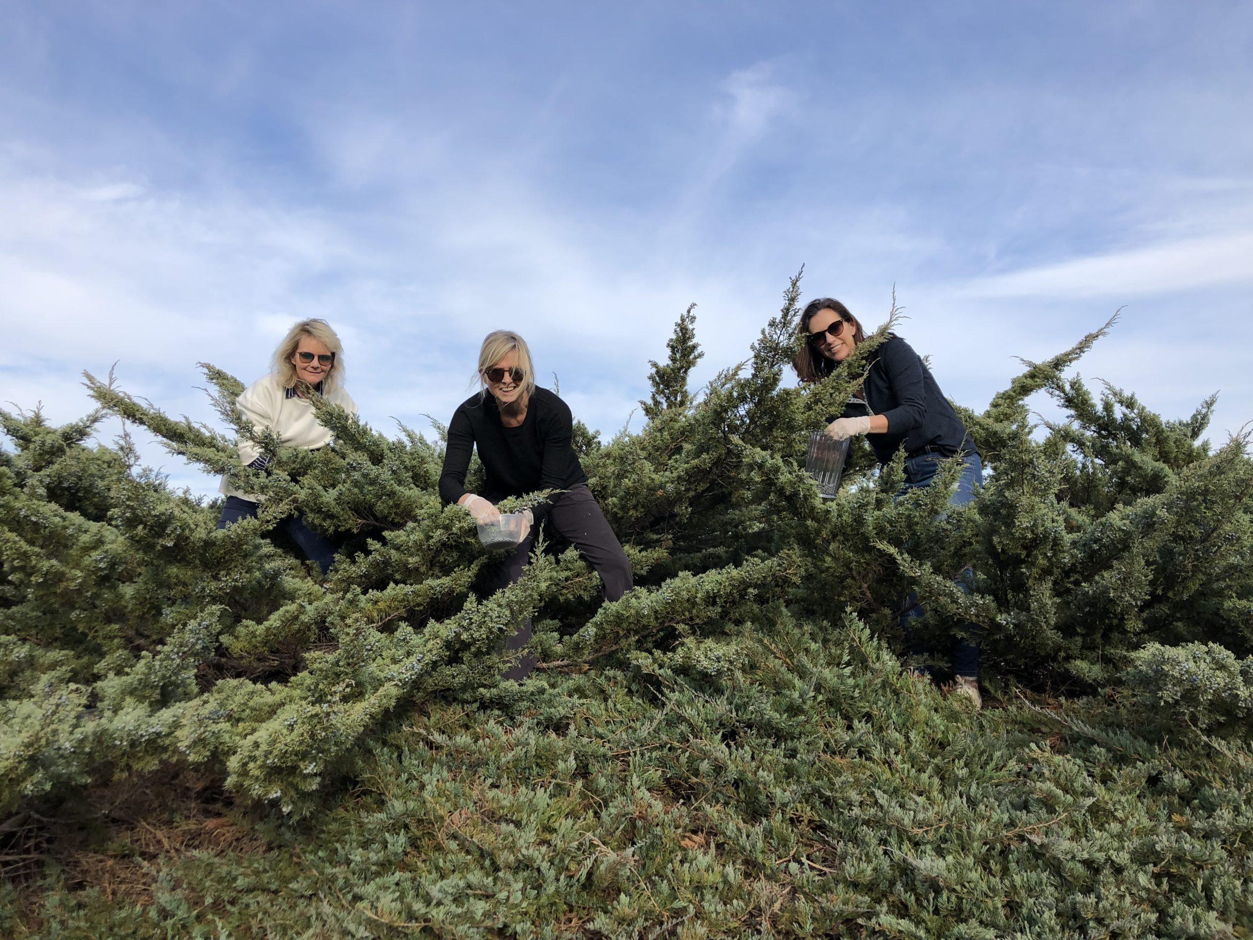 Elgin-grown-juniper