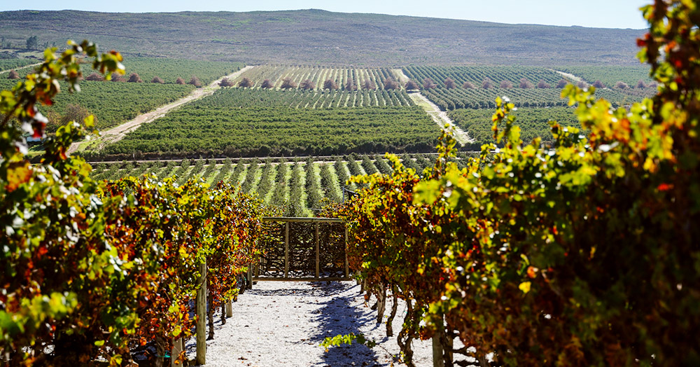Vineyards in the Elgin Valley, South Africa